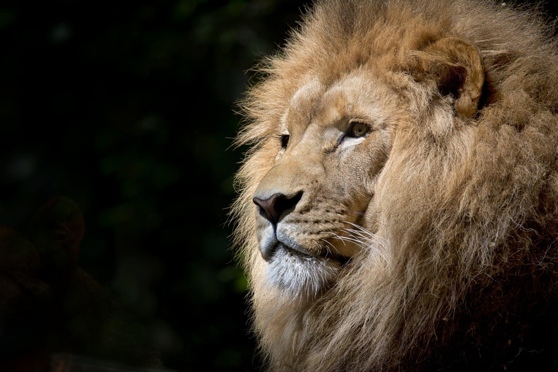 lion-wild-africa-african.jpg